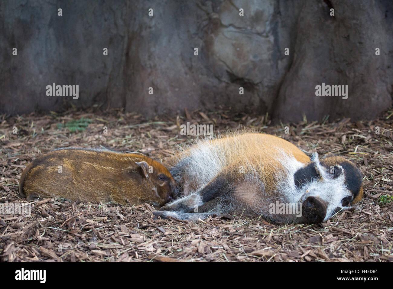 Red River Hog mother nursing baby (Potamochoerus porcus) - Stock Image