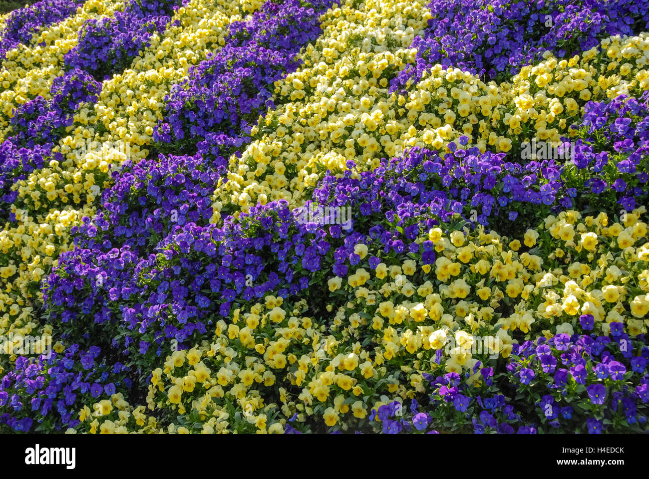 Vivid Yellow And Purple Flowers In A Geometric Landscape Design