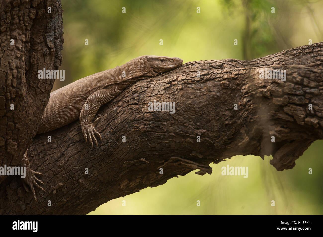 Monitor lizard lazing on a tree in Sariska Tiger Reserve in Alwar Rajasthan wild wildlife - Stock Image