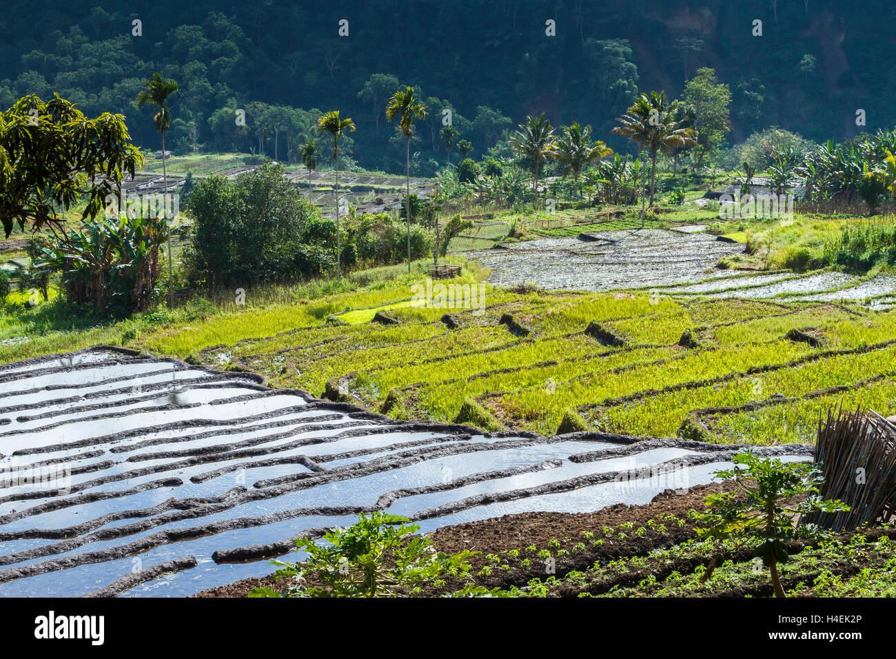 Rice terraces. - Stock Image