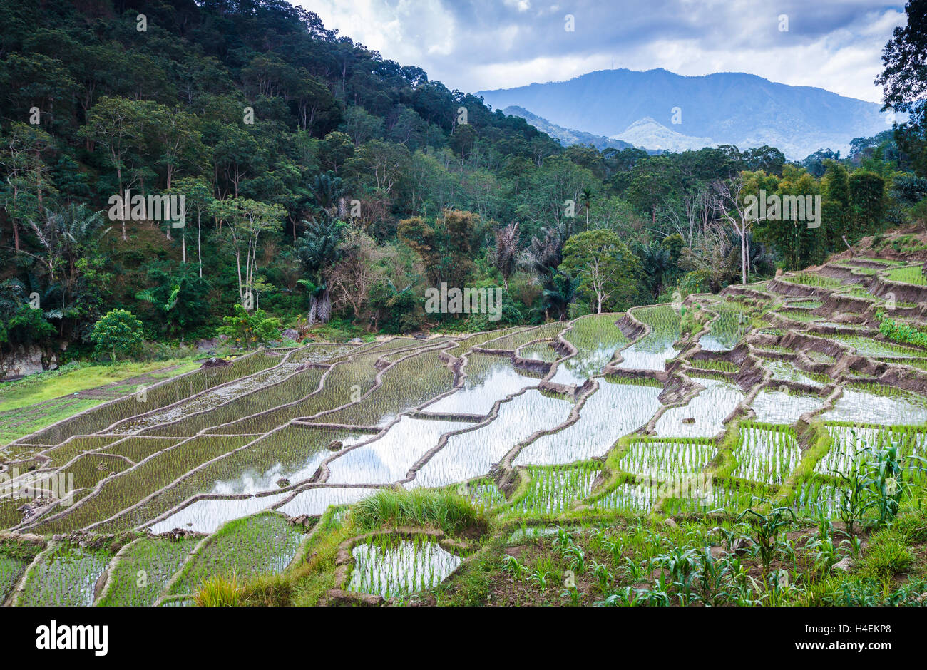 Rice terraces and tropical forest. - Stock Image
