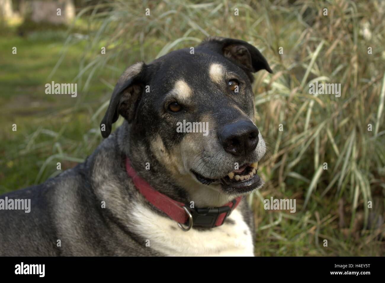 My Old But Happy Dog, Rudy Valentino, at 12 Years Old - Stock Image