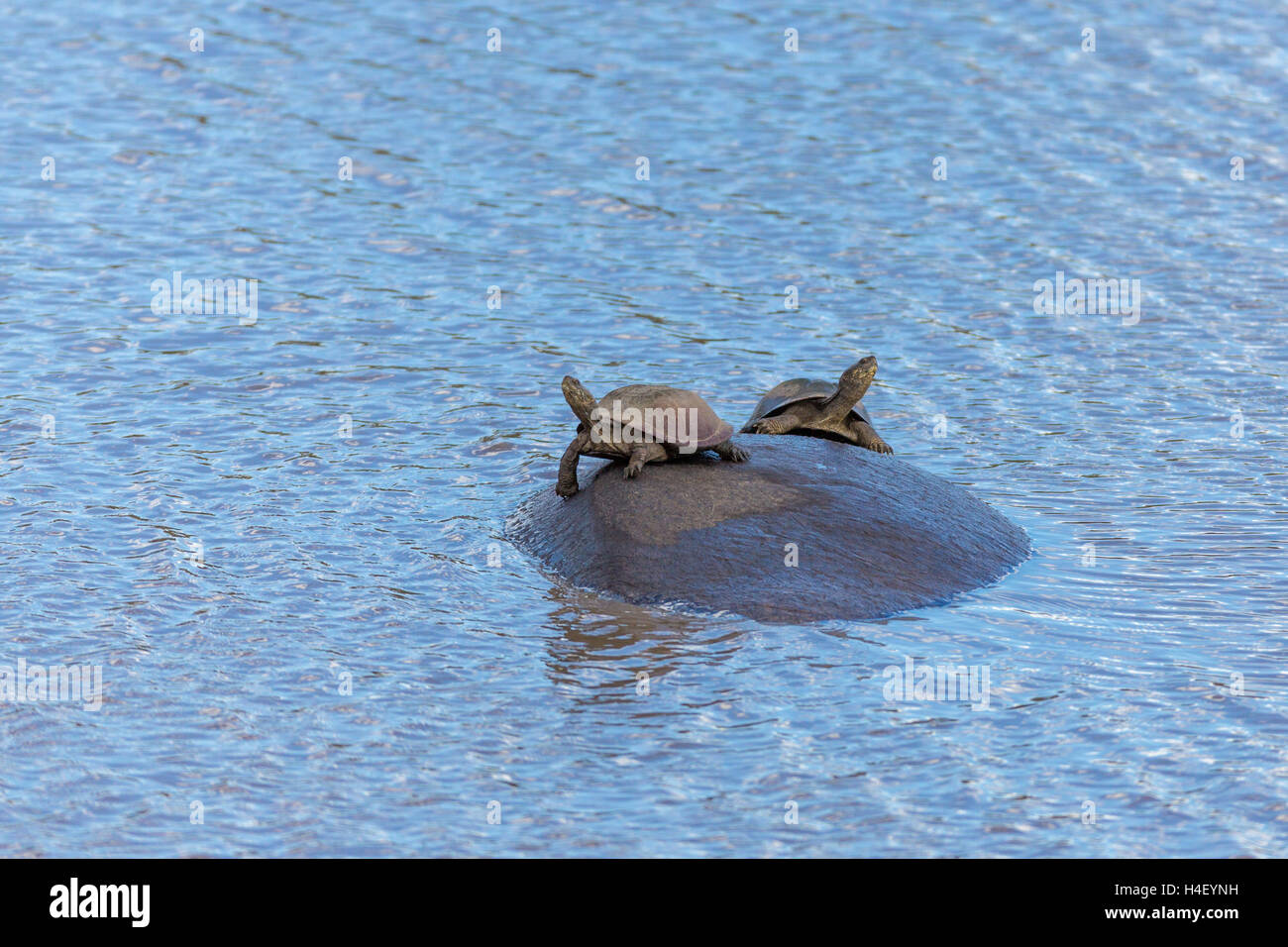 Two turtles sitting with outstretched necks on hippopotamus, serrated hinged terrapin (Pelusios sinuatus) - Stock Image