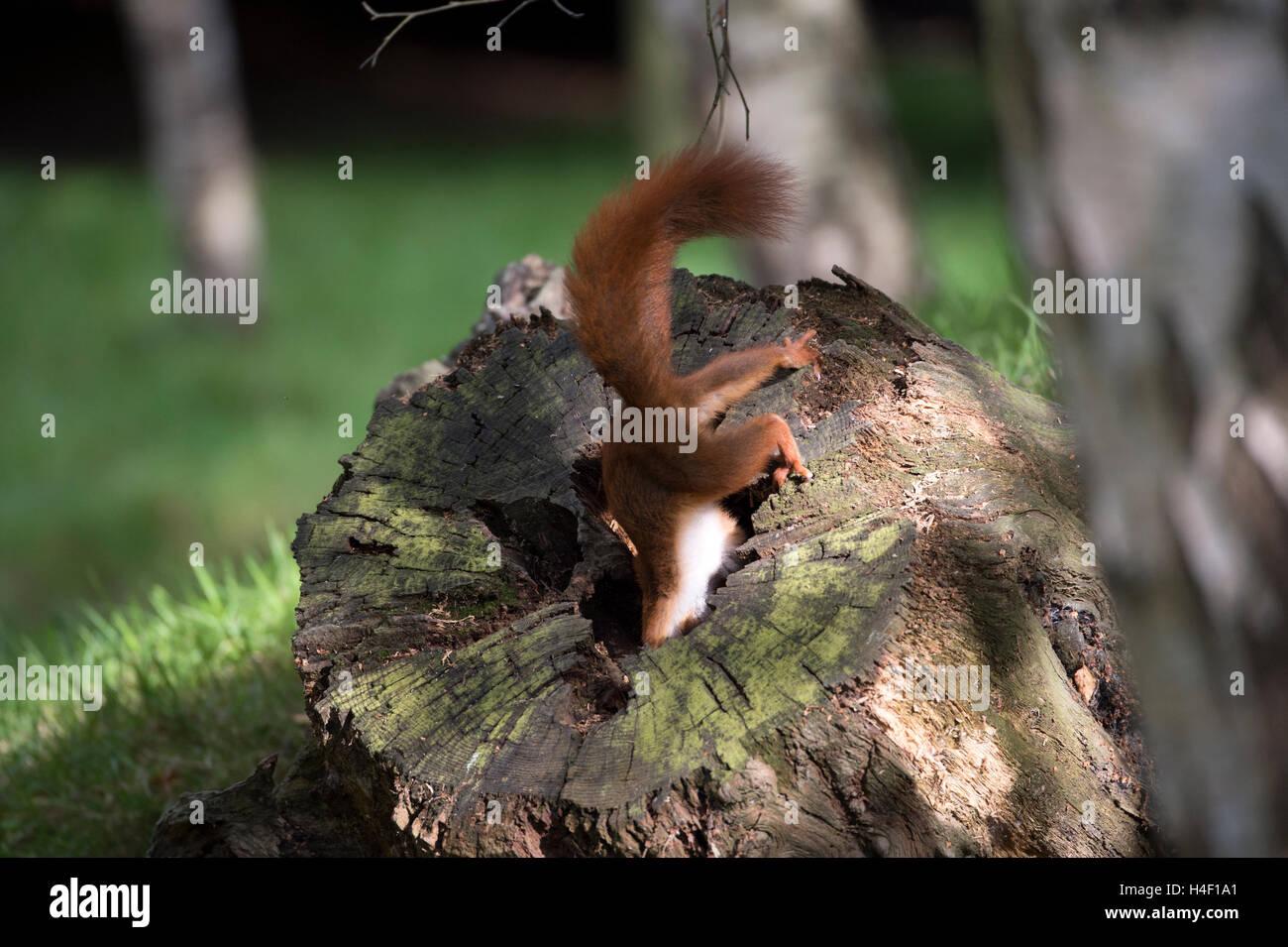 Eurasian red squirrel (Sciurus vulgaris) at the British Wildlife Centre, England, Great Britain, UK - Stock Image