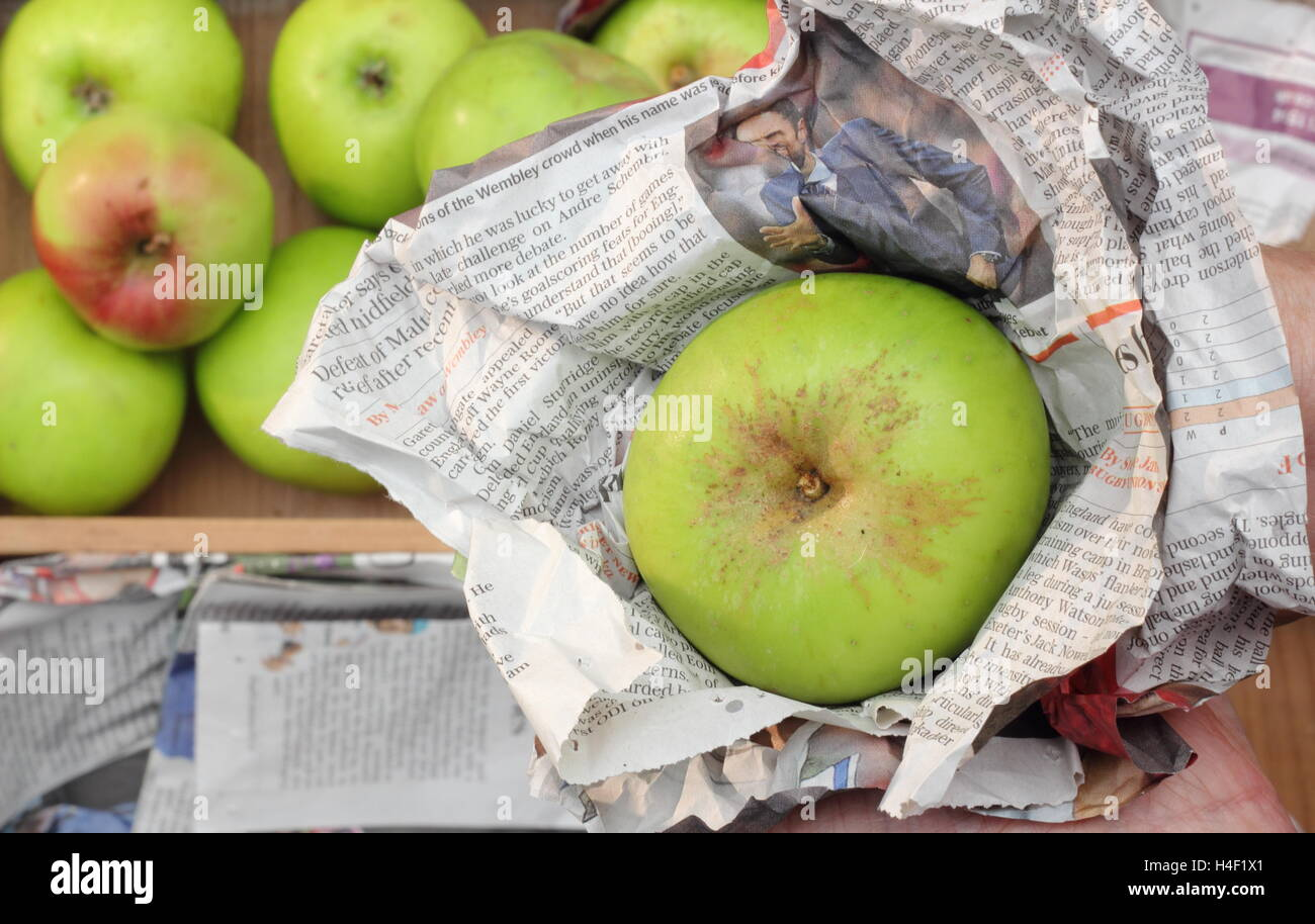 Fresh, unblemished Bramley apples (malus domestica Bramley's Seedling) are individually wrapped in newspaper - Stock Image