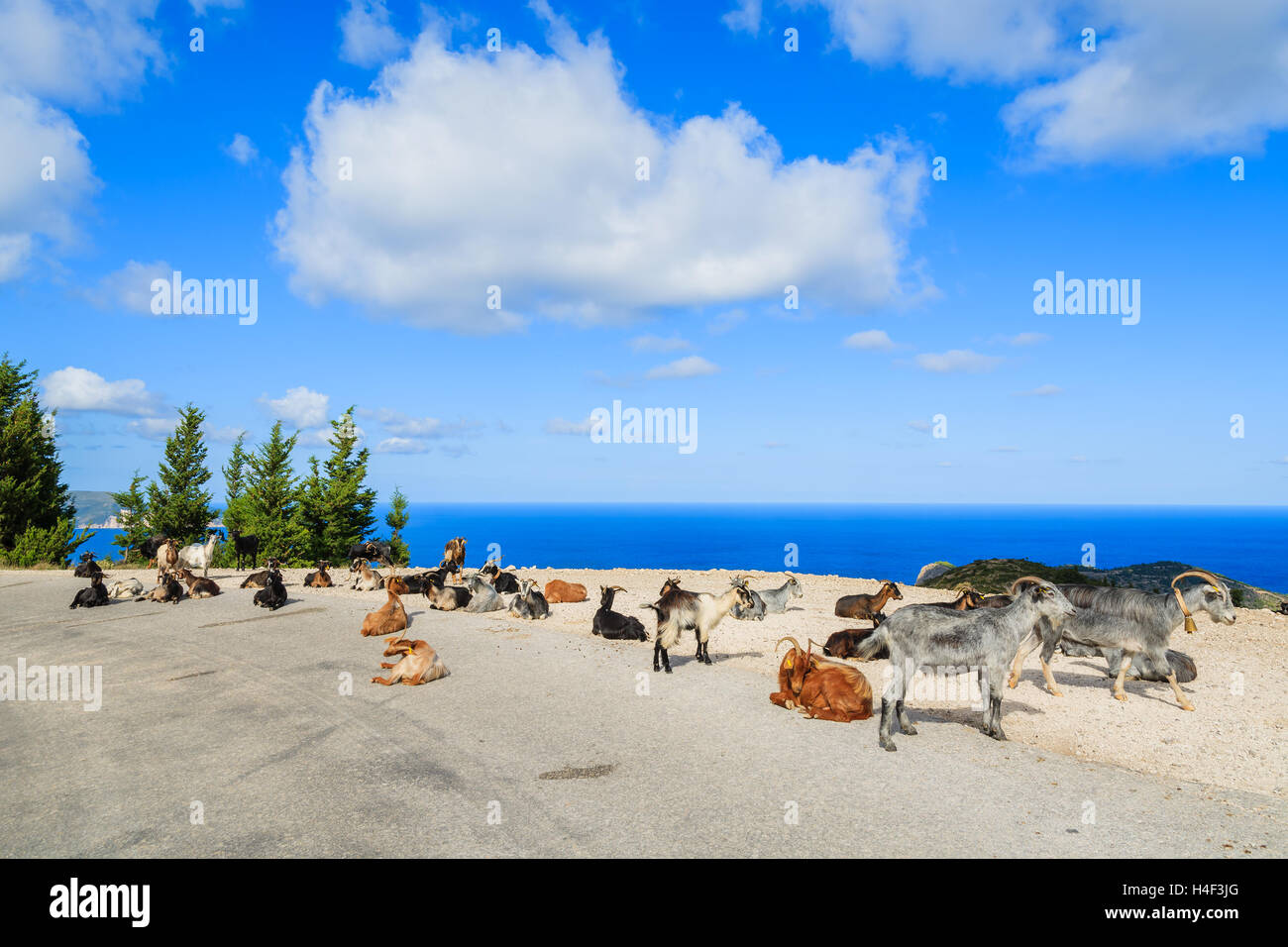 Goats with horns on scenic mountain road to Assos village against blue sea background, Kefalonia island, Greece - Stock Image
