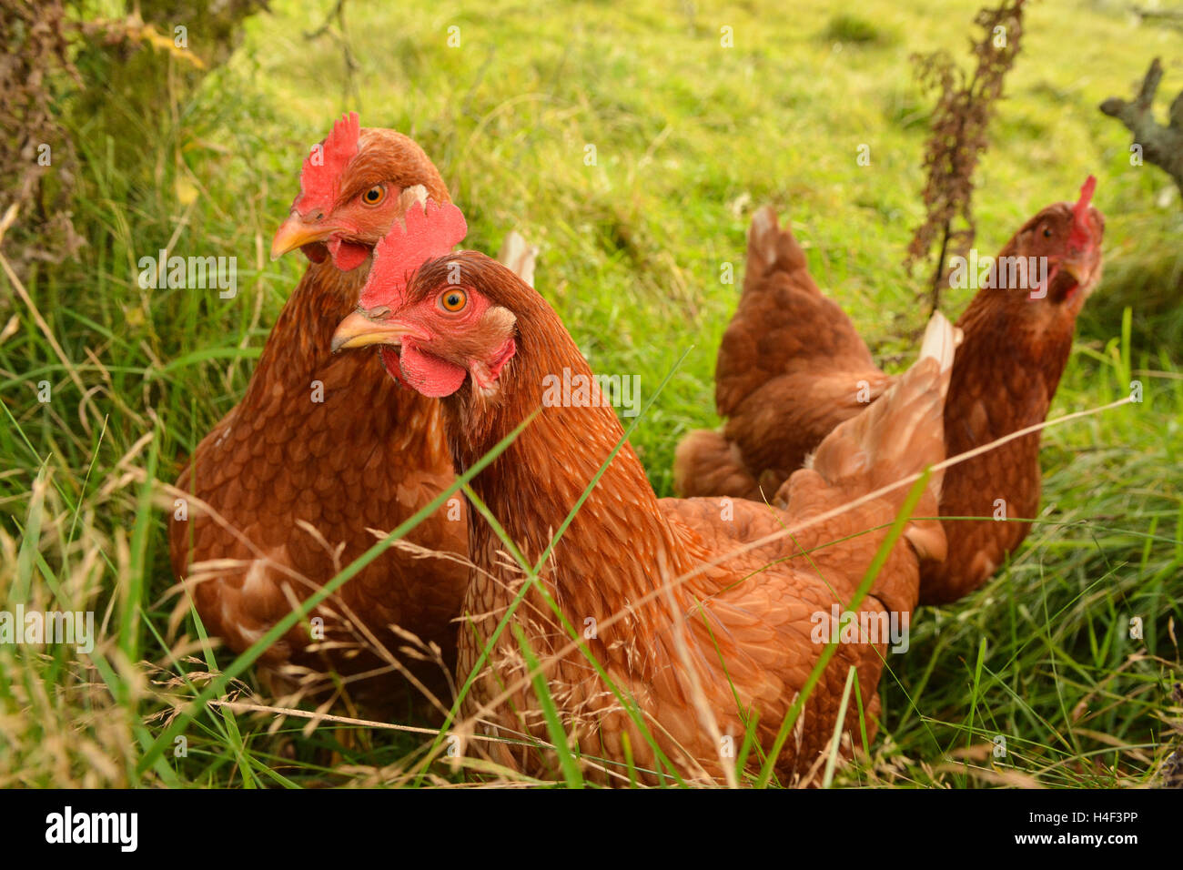 three brown free range chickens in long grass - Stock Image