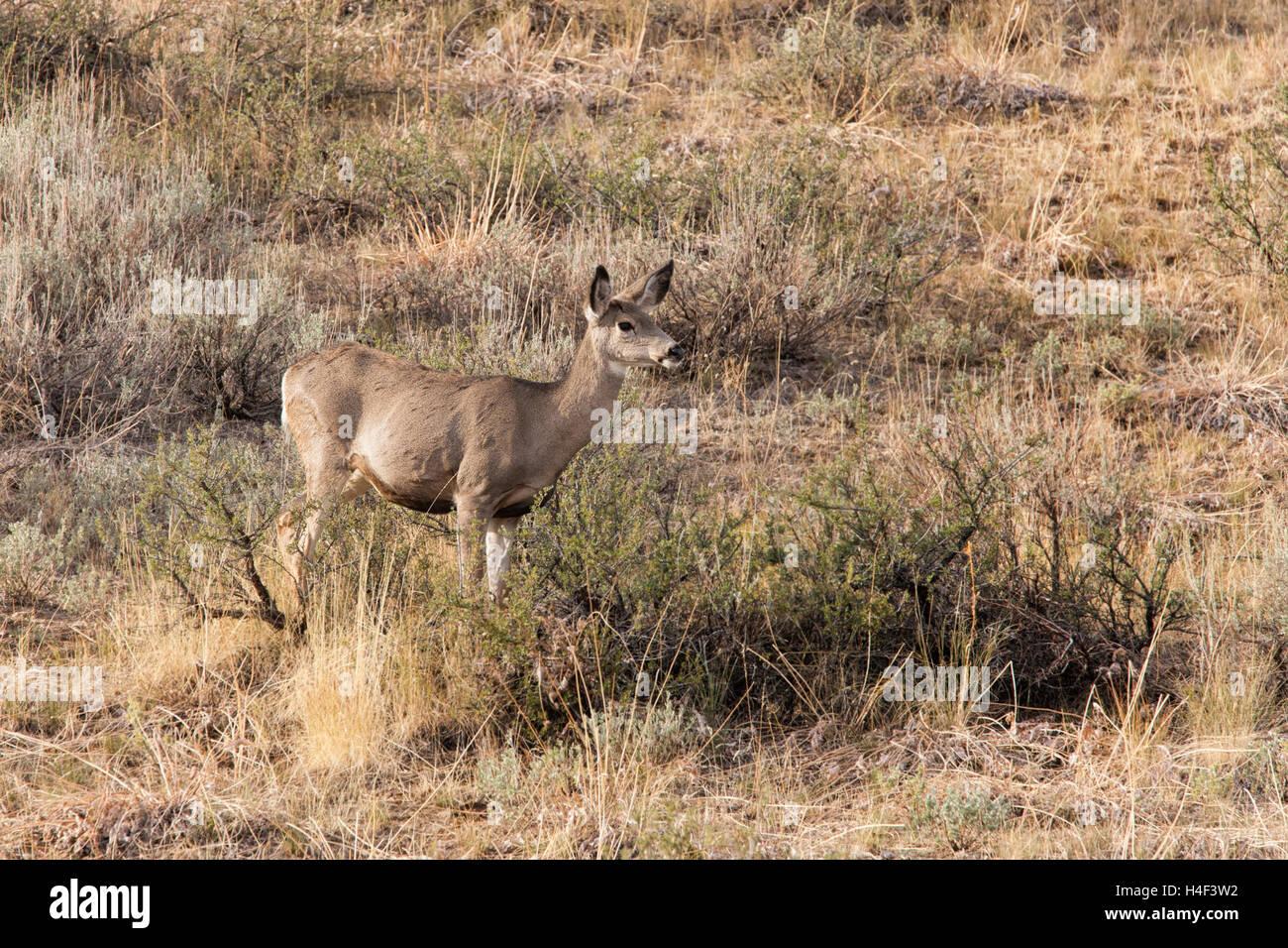 Deer in dry grass. - Stock Image