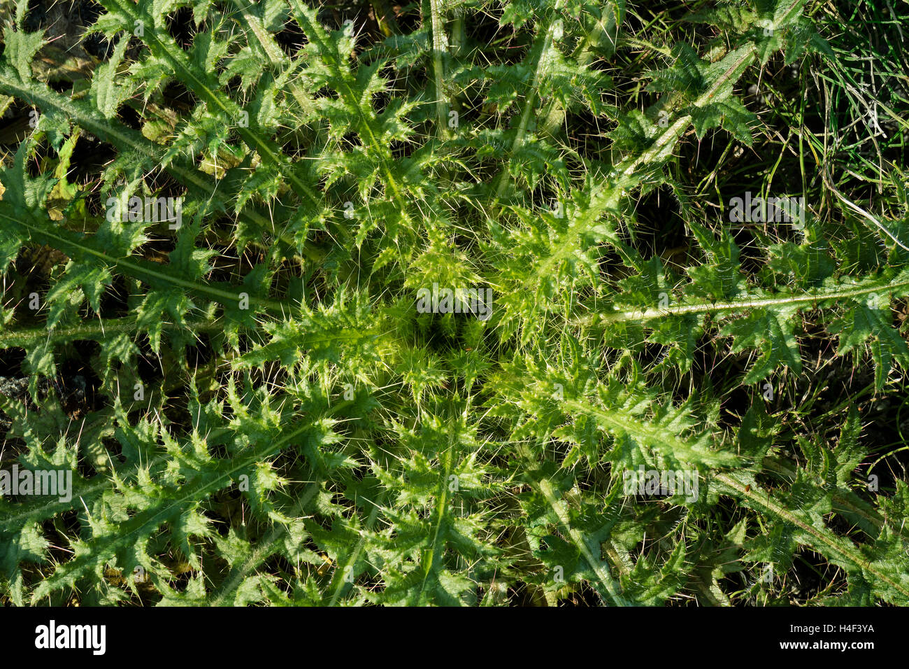 Leaf rosette of a spear thistle,  Cirsium vulgare - Stock Image