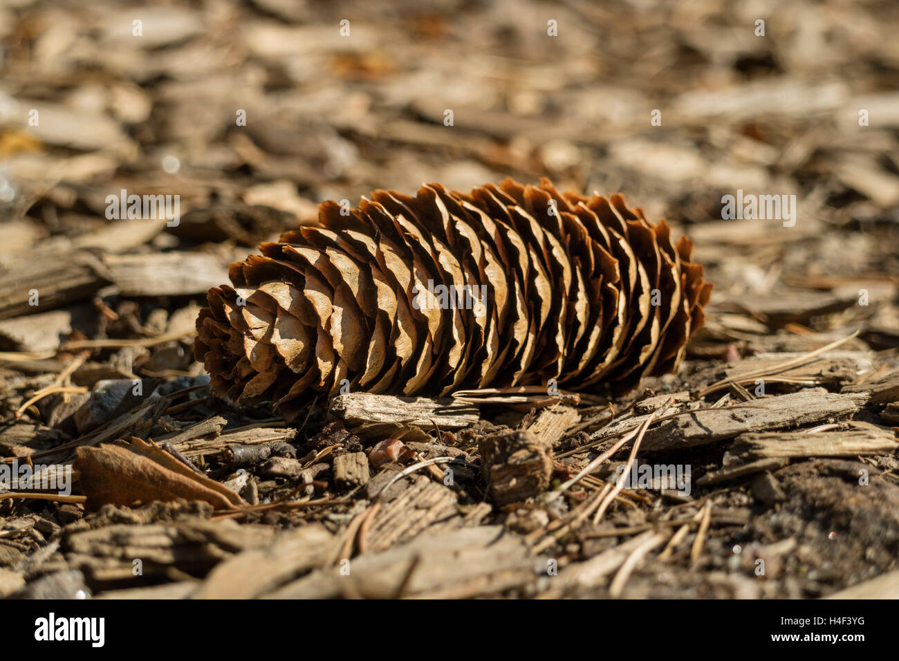 Fallen single conifer cone in the wood - Stock Image
