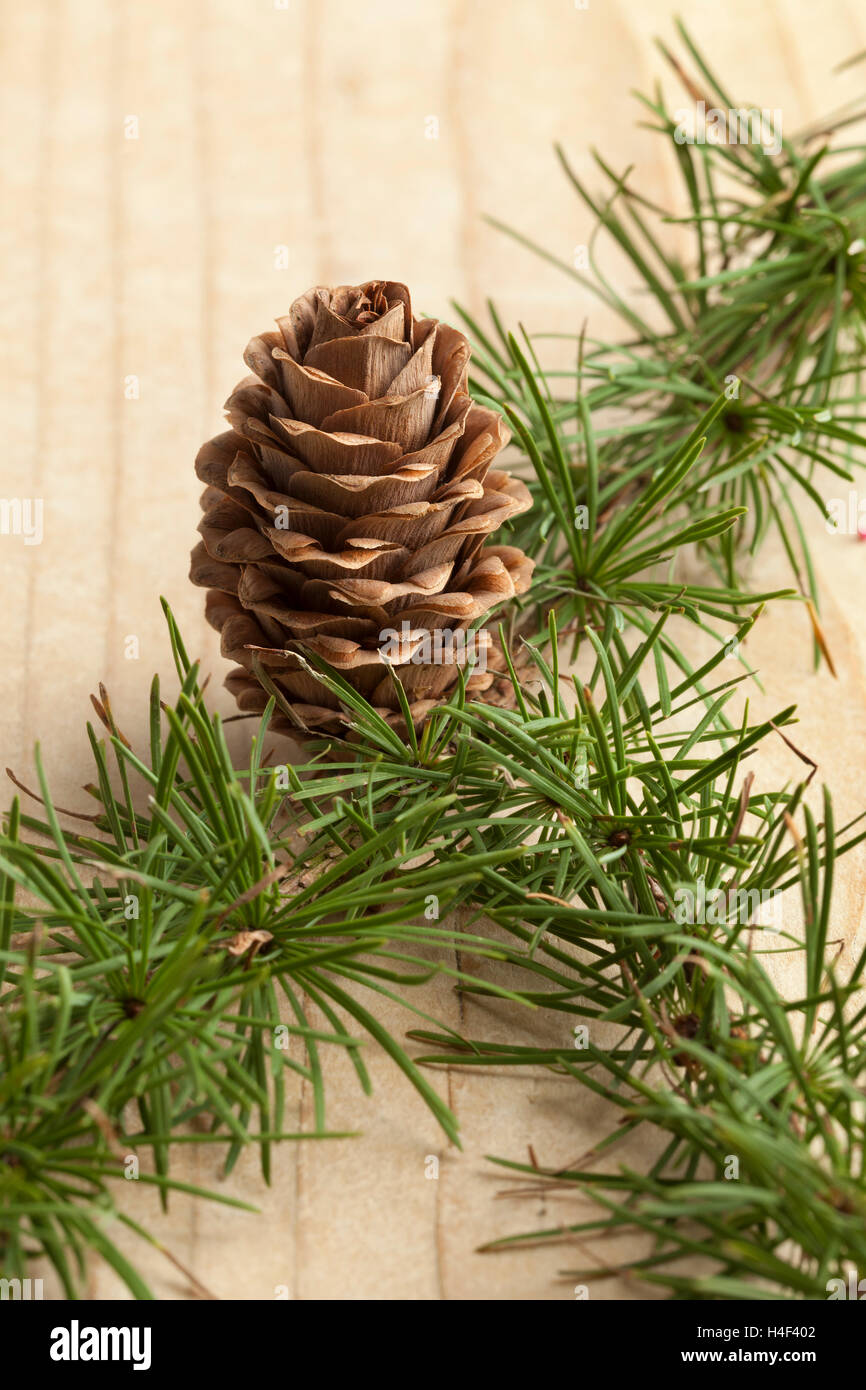 Conifer twig with cone for decoration - Stock Image