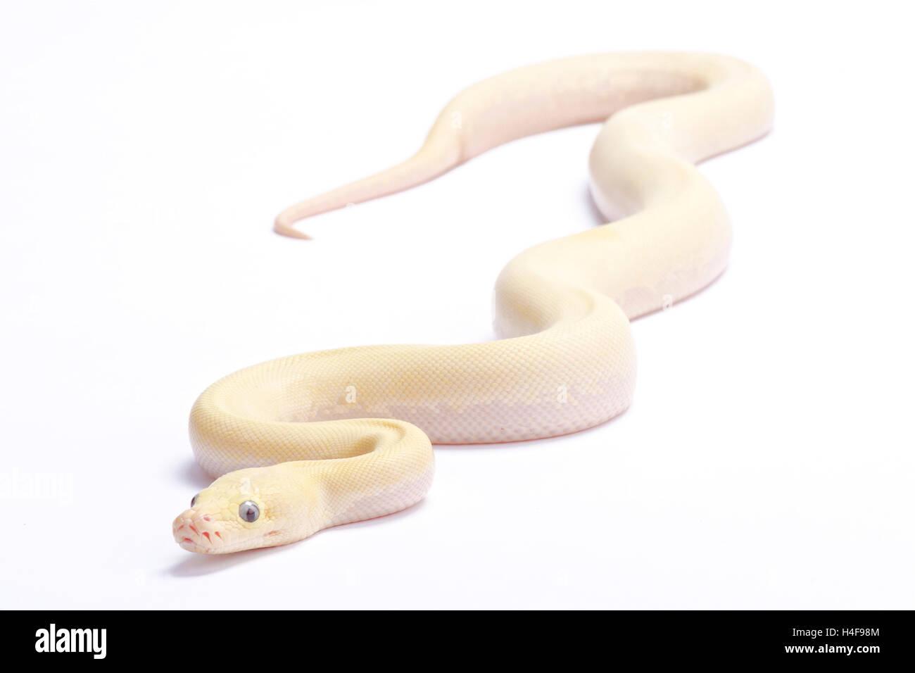 Burmese python,Python bivittatus,'ivory' - Stock Image