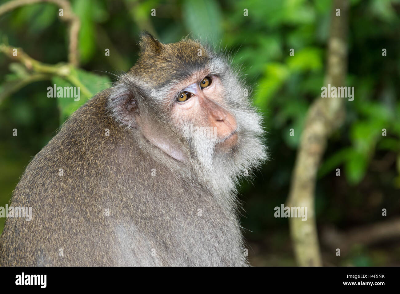 Portrait of a Balinese Long-Tailed Monkey in the Ubud Monkey forest in Bali, Indonesia. - Stock Image