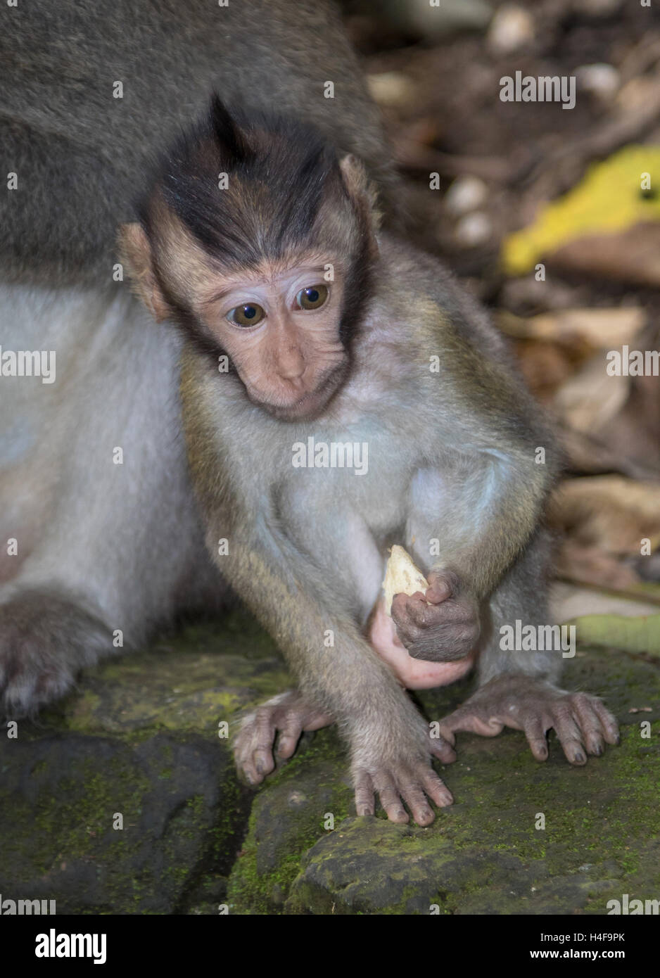 A young Balinese Long-Tailed Monkey in the Ubud Monkey forest in Bali, Indonesia. - Stock Image