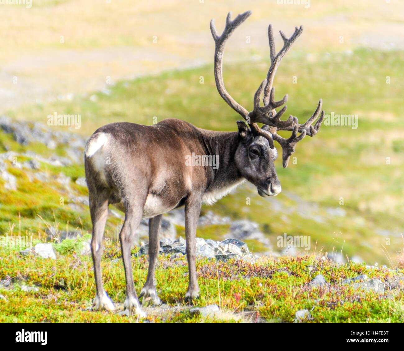 Reindeers on Kvaløya in Finnmark, Norway - Stock Image
