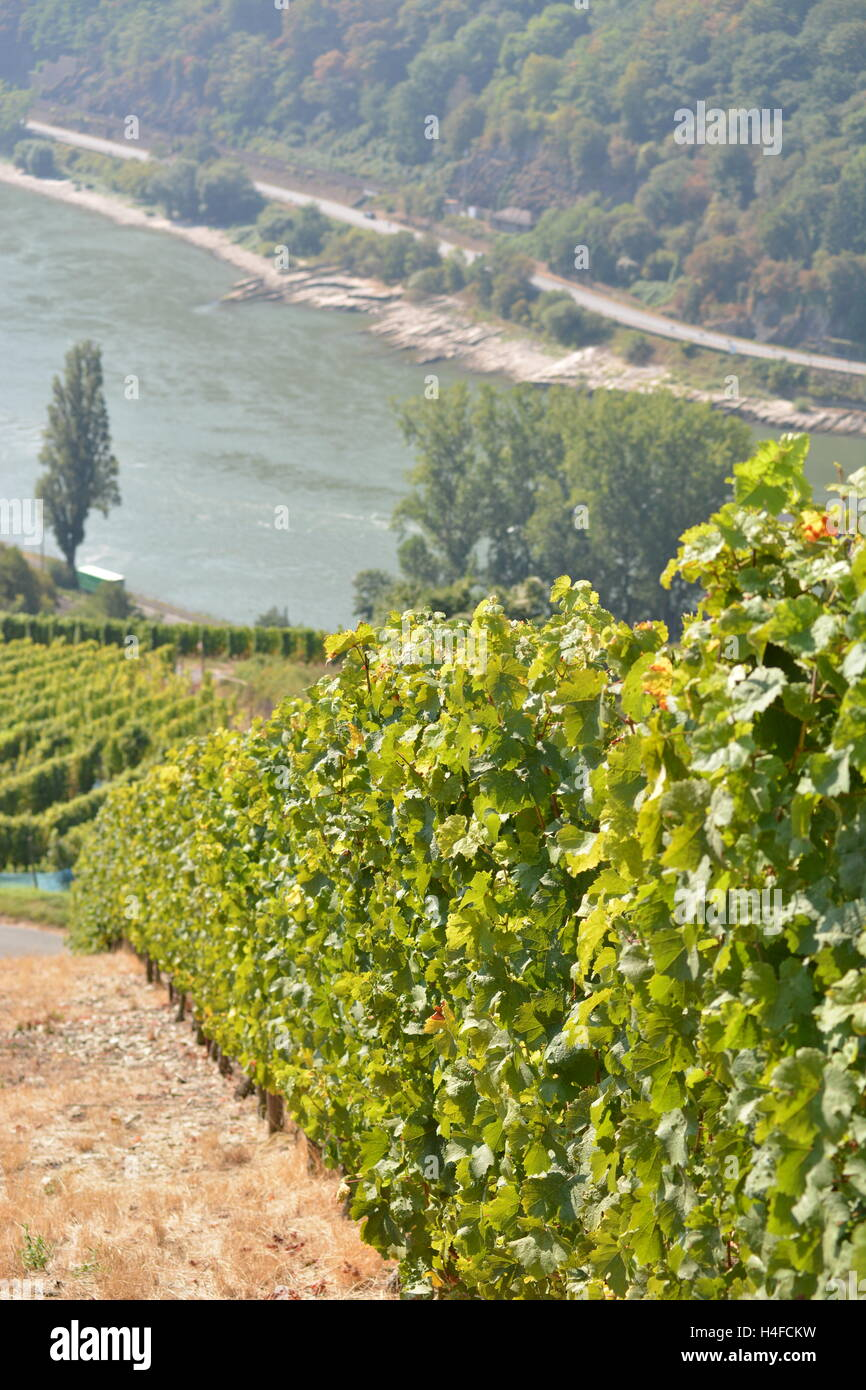 St. Goarshausen, Germany - September 15, 2016 -  Vineyards near Loreley rock in german rhine valley Stock Photo