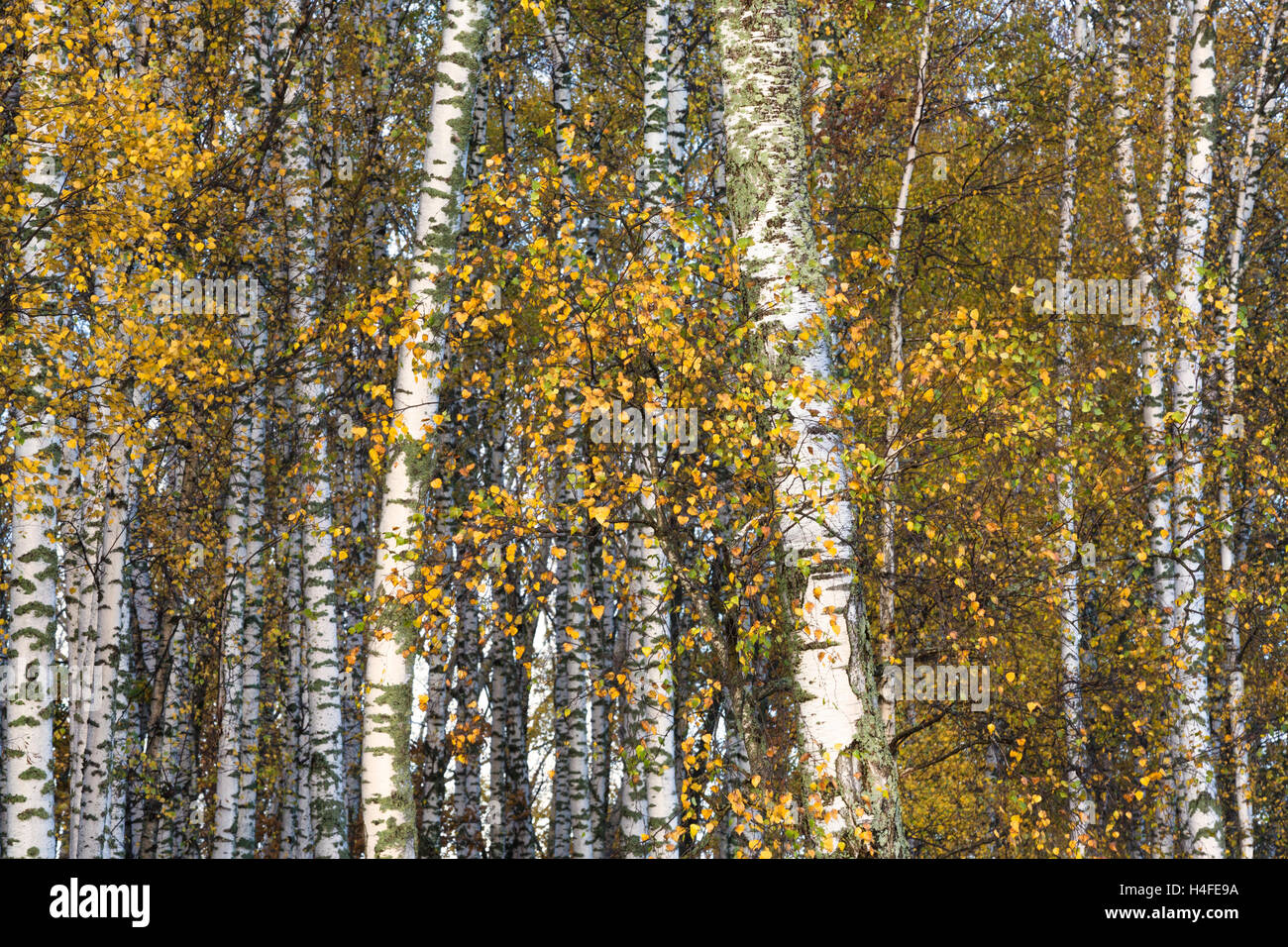 Autumn forest with birch trees - Stock Image
