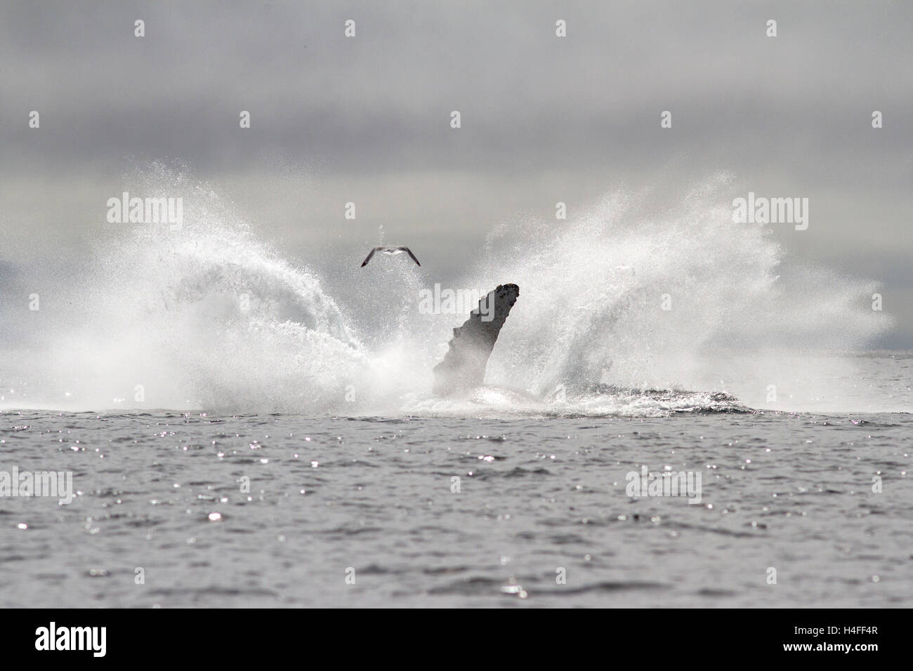humpback whale leaped into the sea in a fountain spray - Stock Image