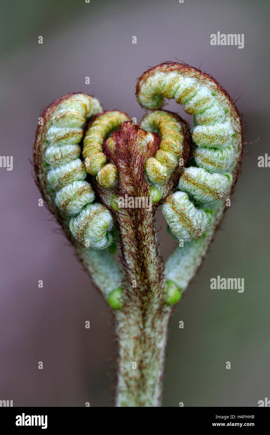 Bracken or brake buds. - Stock Image