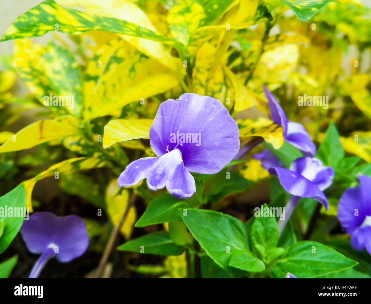 Otacanthus caeruleus the name of purple white flower thailand call otacanthus caeruleus the name of purple white flower thailand call blue hawai mightylinksfo