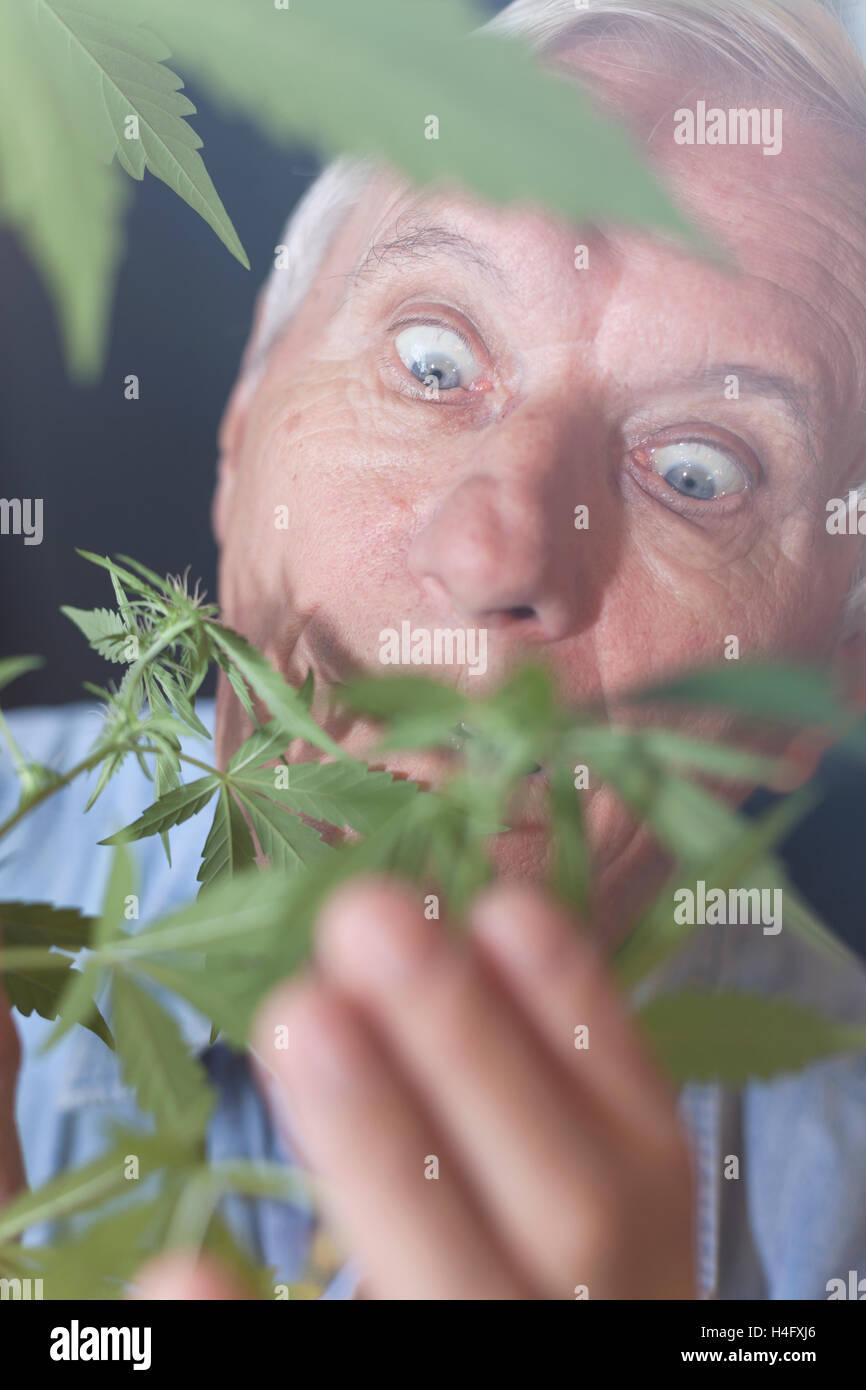 Shocked senior man looking at Cannabis plant. - Stock Image