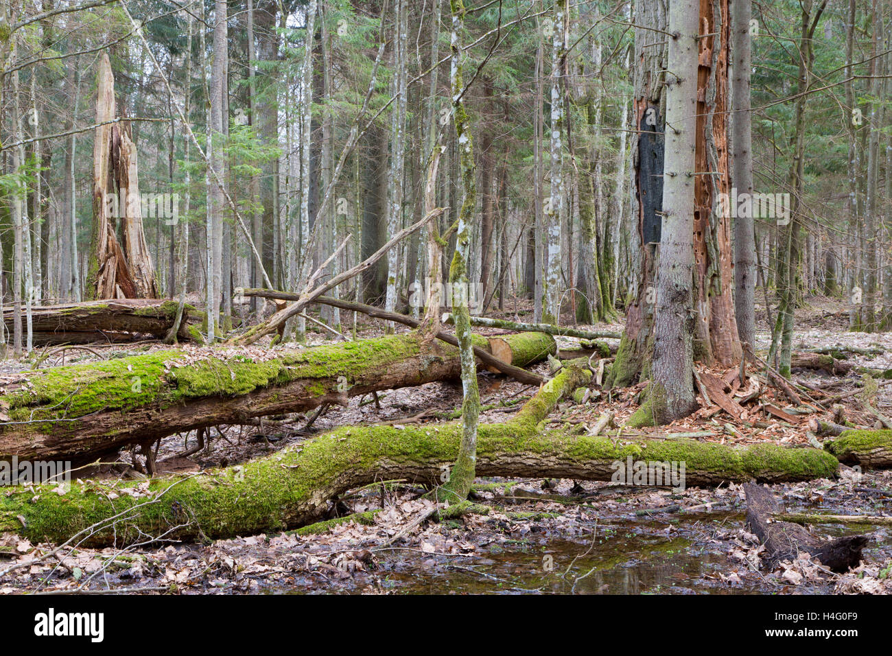 Two broken oak trees in spring forest stand just before vegetation starts,Bialowieza Forest,Poland,Europe - Stock Image