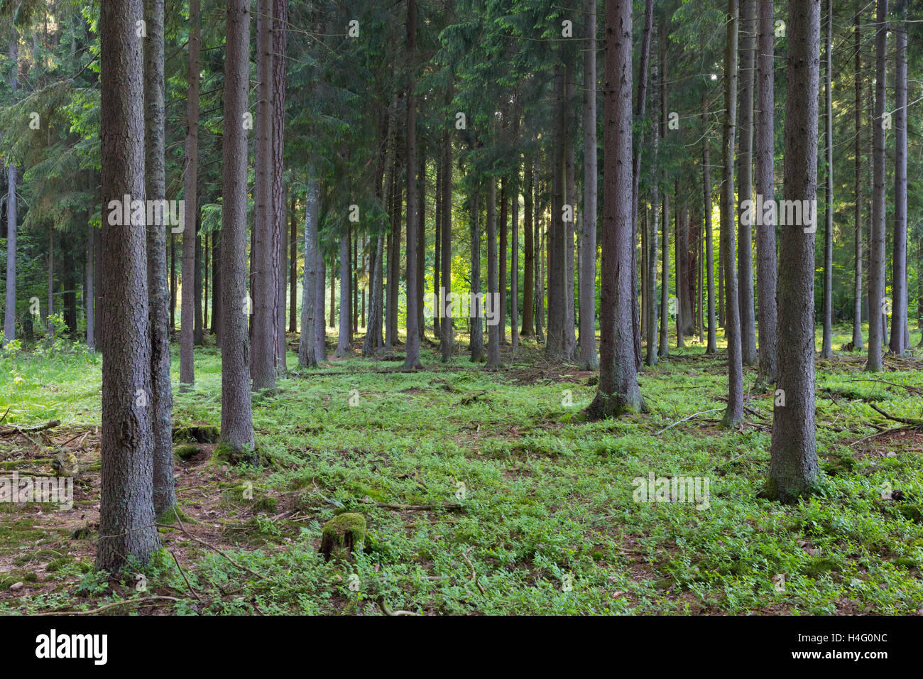 Rich coniferous forest in sunset with spruce and pine trees,Bialowieza Forest,Poland,Europe - Stock Image