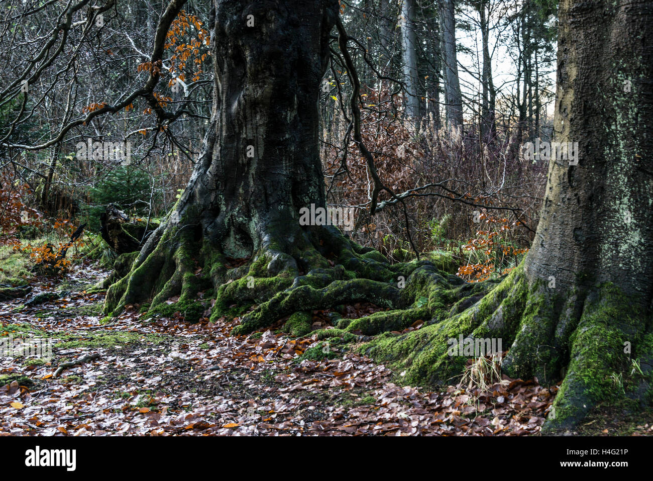 Knotted, gnarled tree roots - Stock Image
