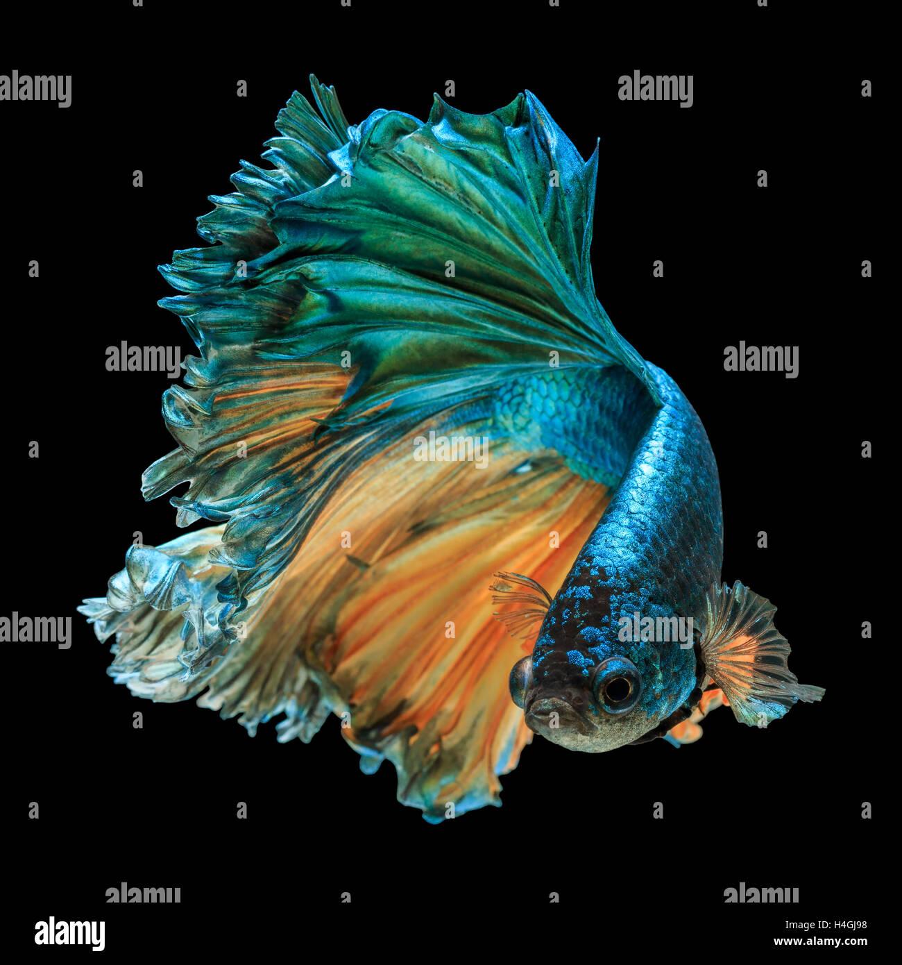 betta fish, siamese fighting fish 'Half moon' isolated on black background - Stock Image