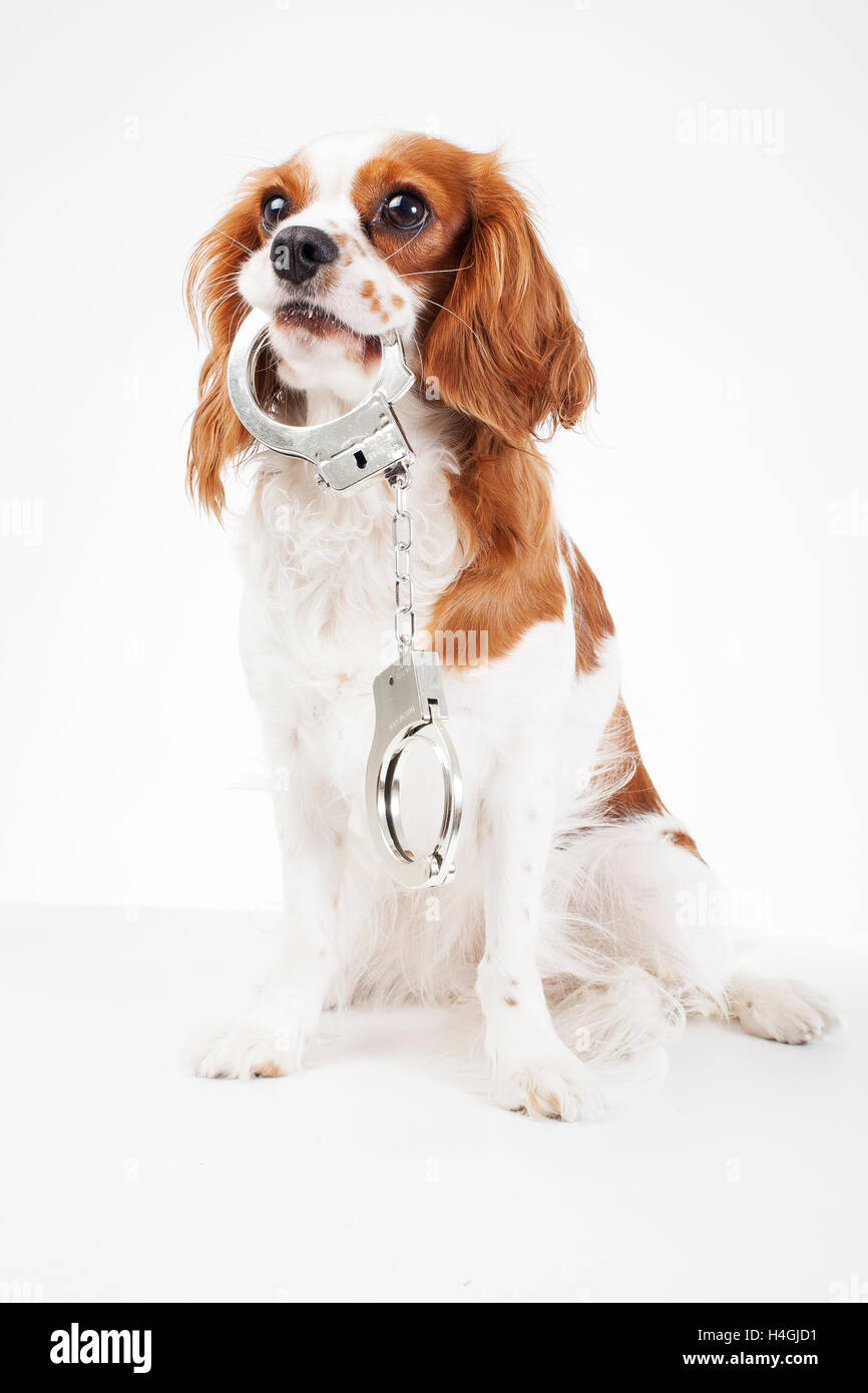 Cavalier King charles spaniel studio photos against animal cruelty. Love animals. Dog with handcuffs illustrate - Stock Image