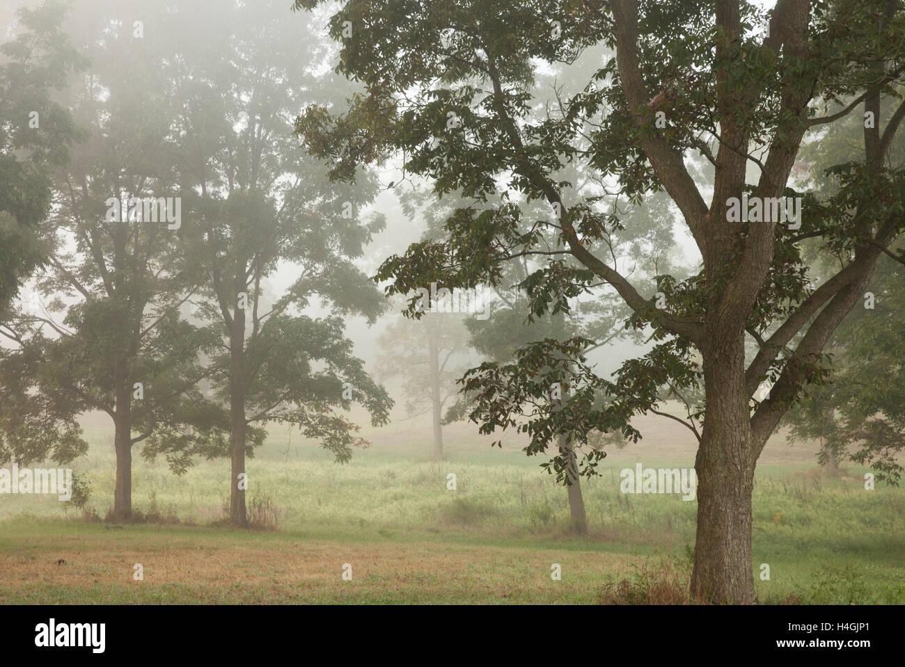 'Mist, Grove #2' Southern Illinois - Stock Image
