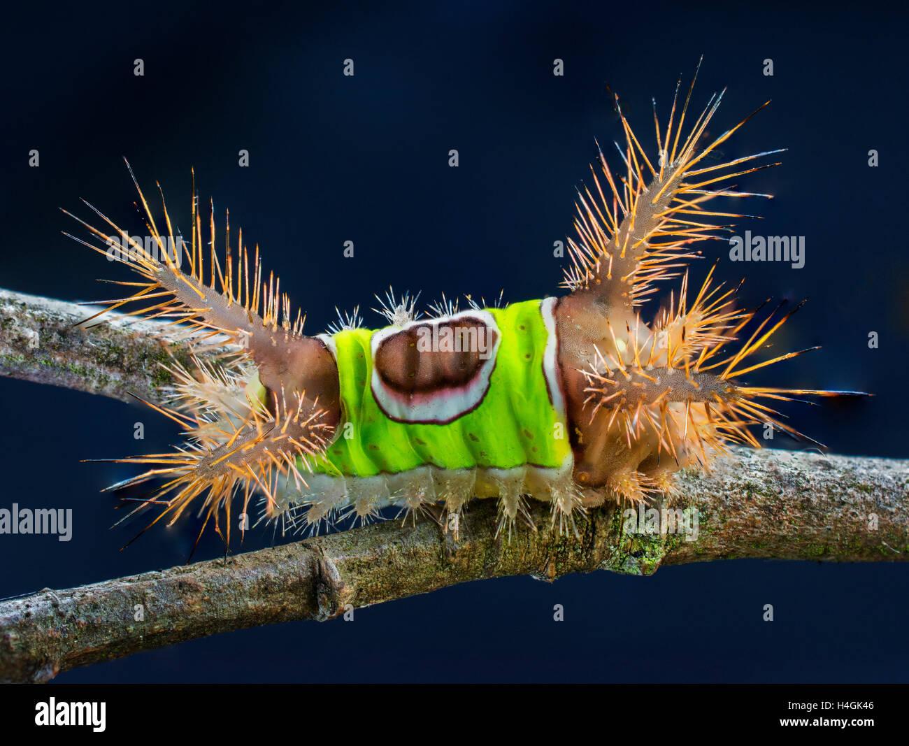 Saddleback Caterpillar - Stock Image