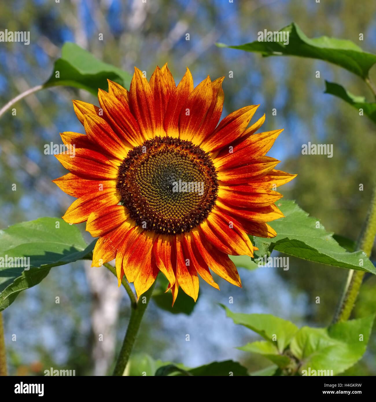 einzelne Sonnenblume im Sommer - single sunflower in summer, garden plant - Stock Image