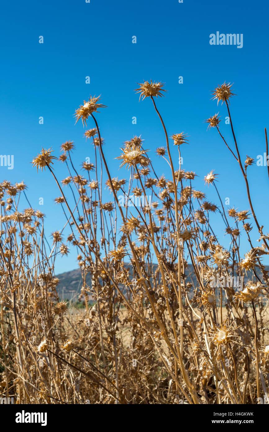 Dry flowers of Milk thistle, Silybum marianum. - Stock Image