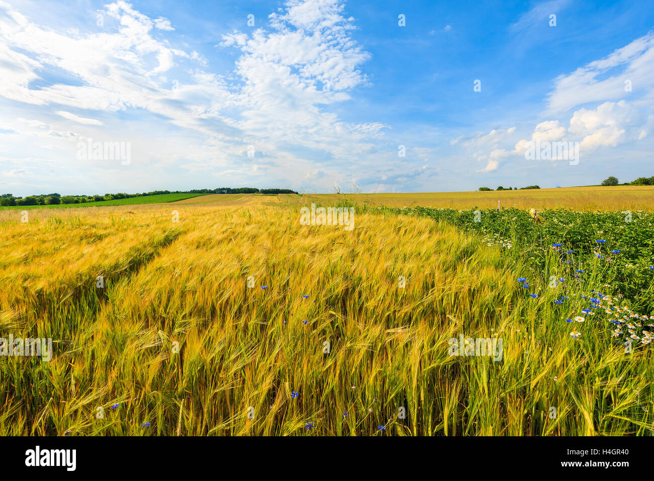 Beautiful golden color wheat field with white clouds on blue sky in summer landscape near Krakow, Poland Stock Photo