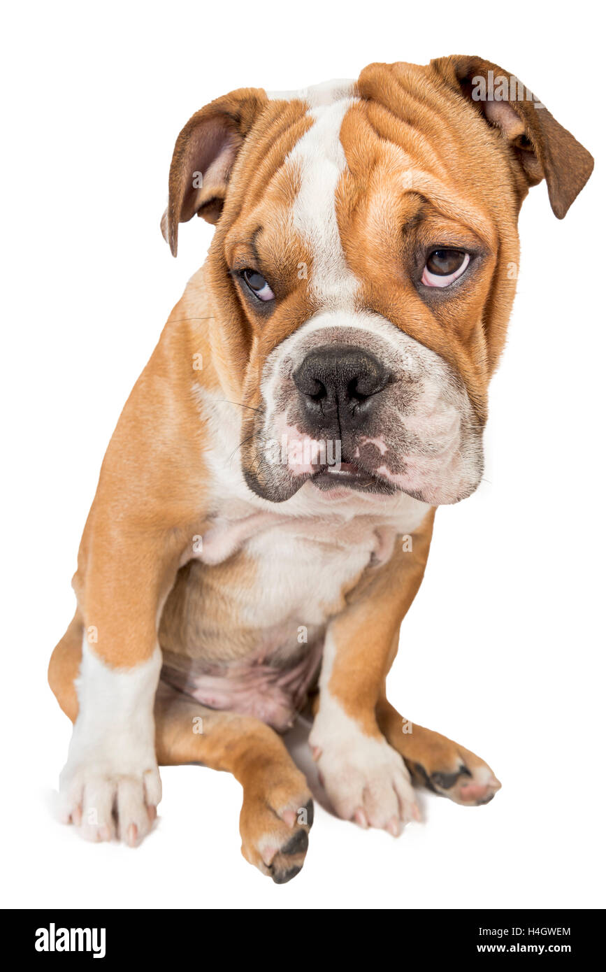 Sleepy And Funny English Bulldog Pup Isolated On White Background Stock Photo Alamy