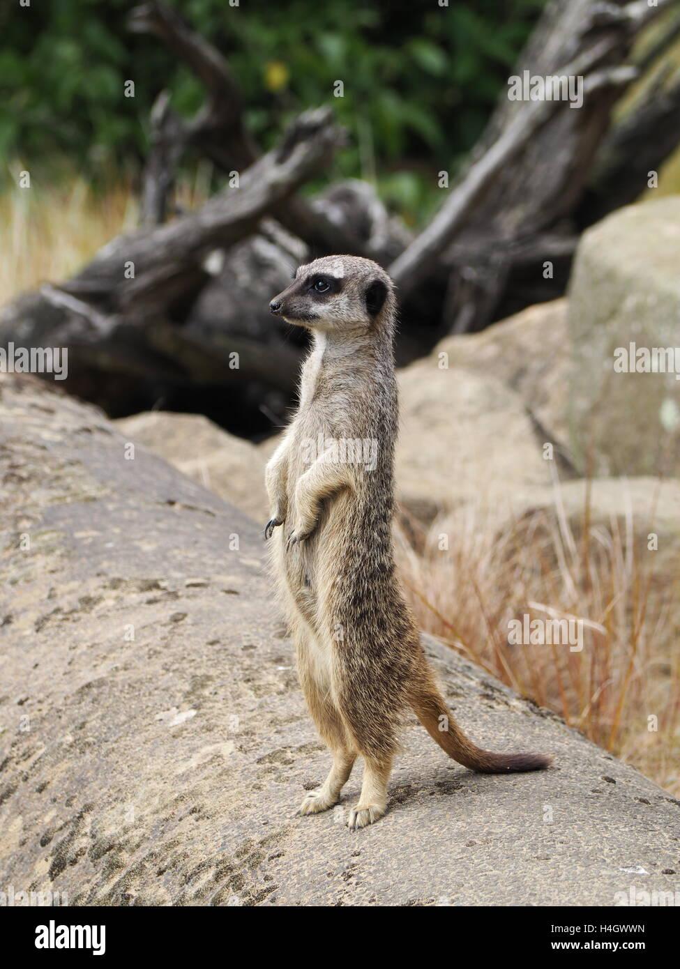 Meerkat standing on watch in wildlife reserve Stock Photo