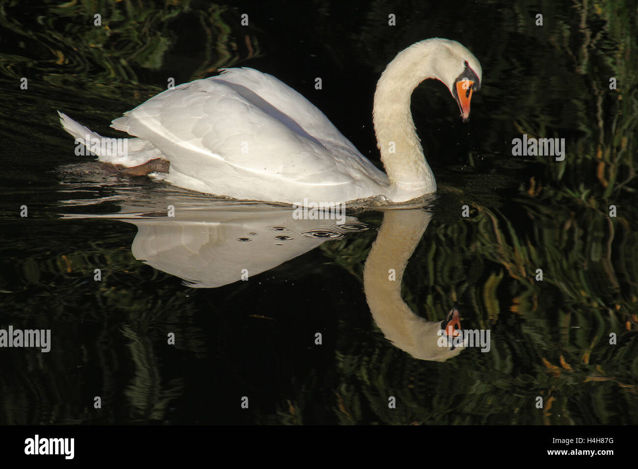 curious mute swan looking at the camera Latin cygnus olor anatidae swimming in the river at Port Meadow Oxford by - Stock Image