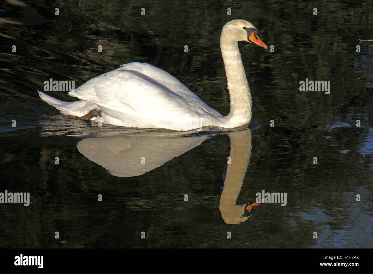 mute swan with elegant reflection Latin cygnus olor family anatidae swimming in the river at Port Meadow Oxford - Stock Image