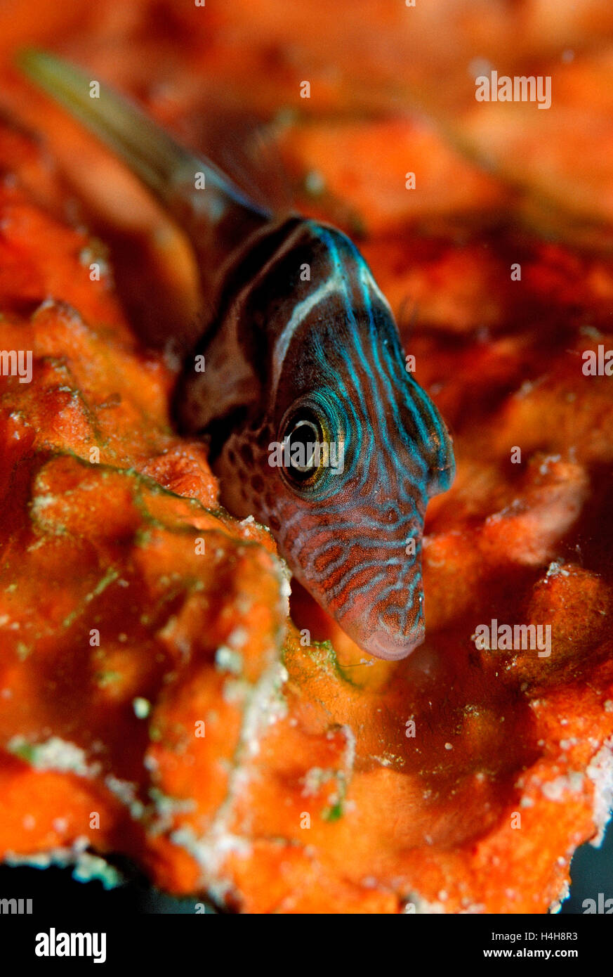 Close Up View Of Puffer Fish Stock Photos & Close Up View Of Puffer ...