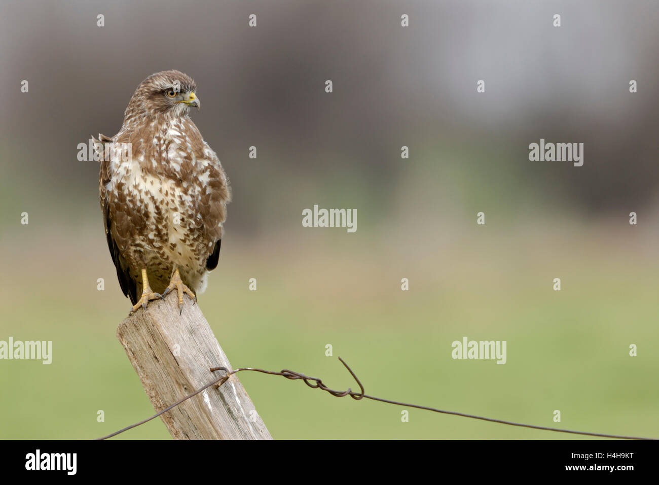 Common Buzzard / Maeusebussard ( Buteo buteo ), perched on a fence post for hunting, typical situation, full body, - Stock Image