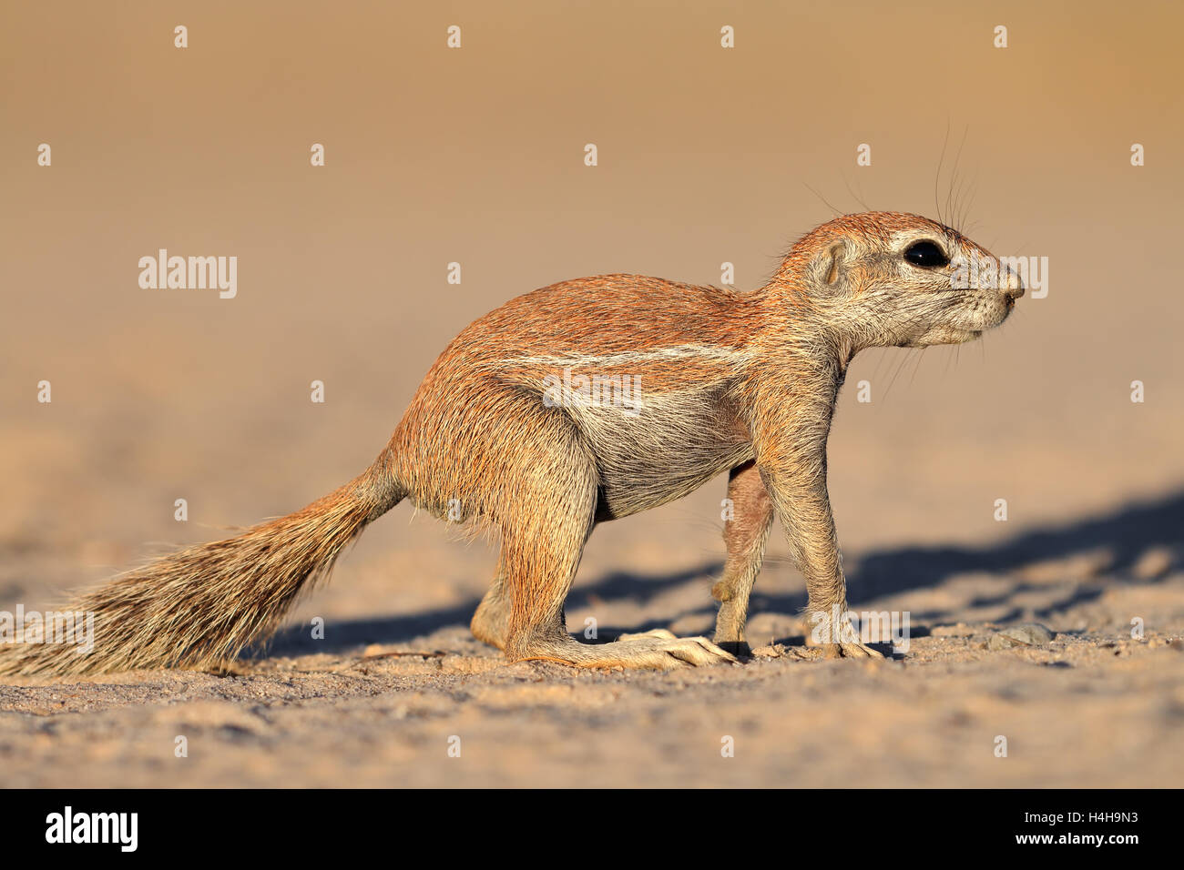 An alert ground squirrel (Xerus inaurus), Kalahari desert, South Africa - Stock Image