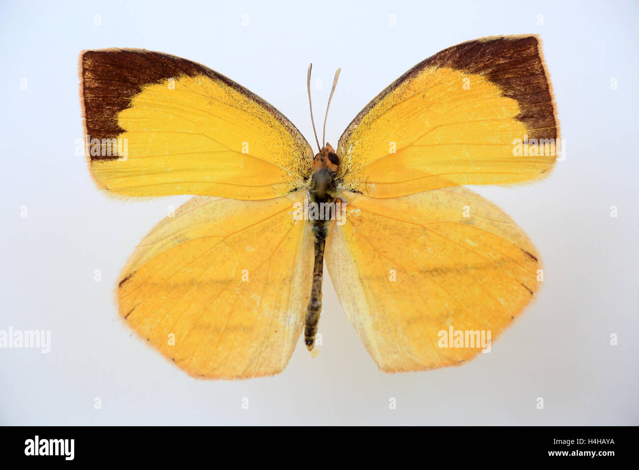 Spotless grass yellow(Eurema laeta) specimen isolated Stock Photo