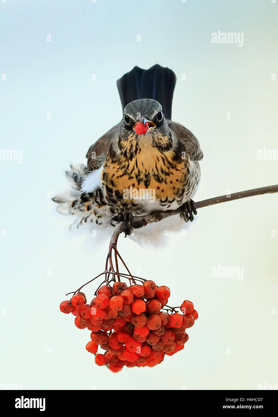Blackbird sitting on a branch in the Park and eating the juicy red berries of mountain ash - Stock Image