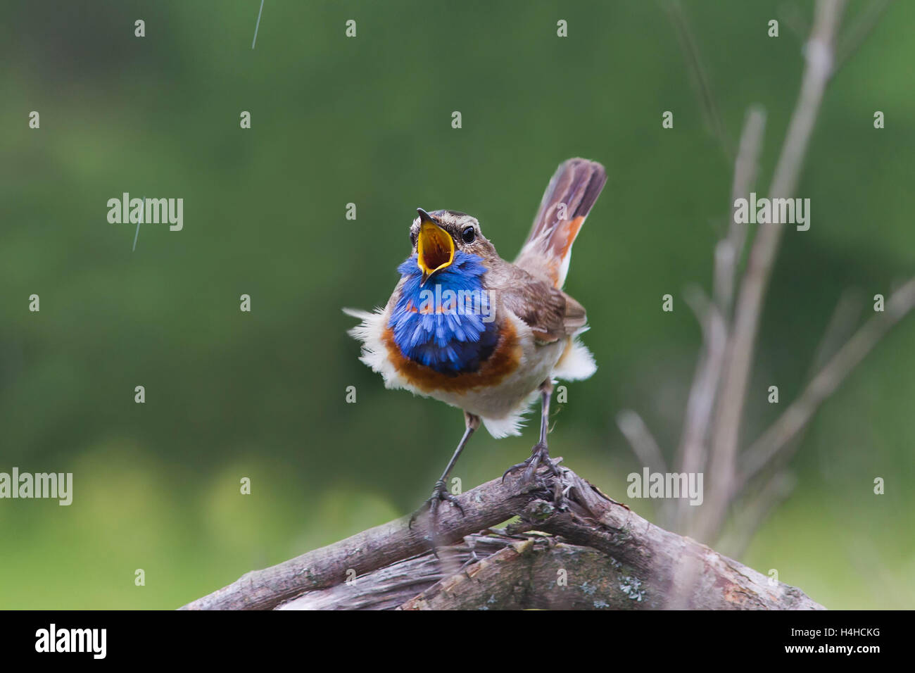 Bird Male Bluethroat Nightingale Blue Feathers To Attract Sings The Song  Beak Rain Nature   Stock