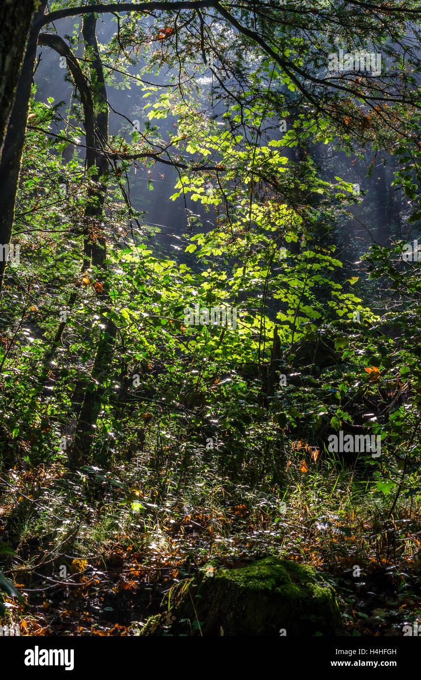 Forêt en automne, Sainte Baume, Var, France - Stock Image
