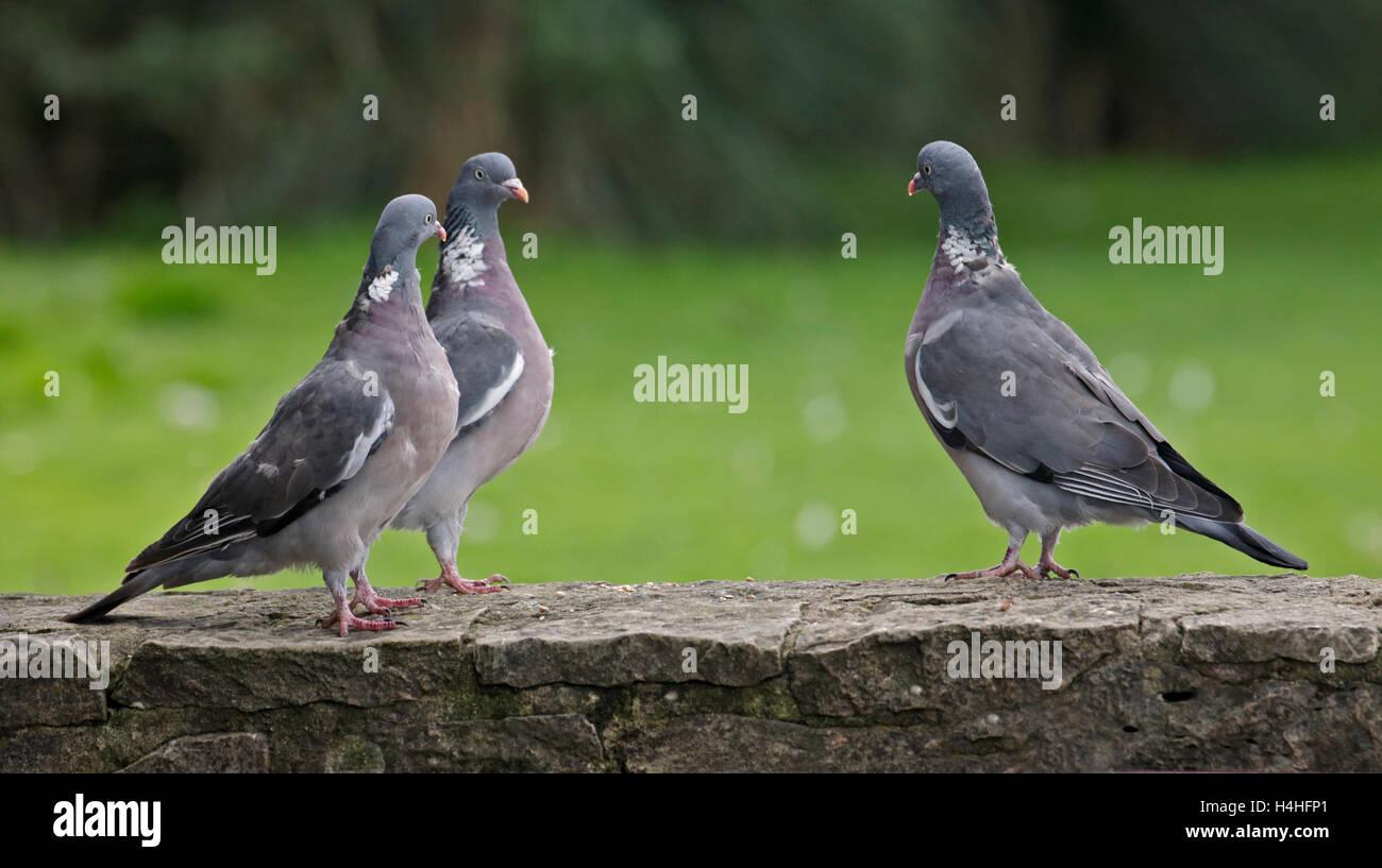 Three Wood Pigeons (columba palumbus) having a stand off, Gloucestershire, England - Stock Image