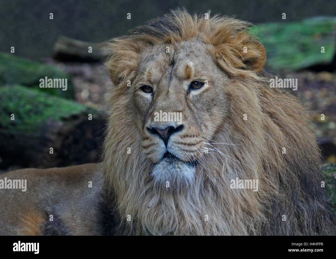 Asiatic Lion male (panthera leo persica) - Stock Image