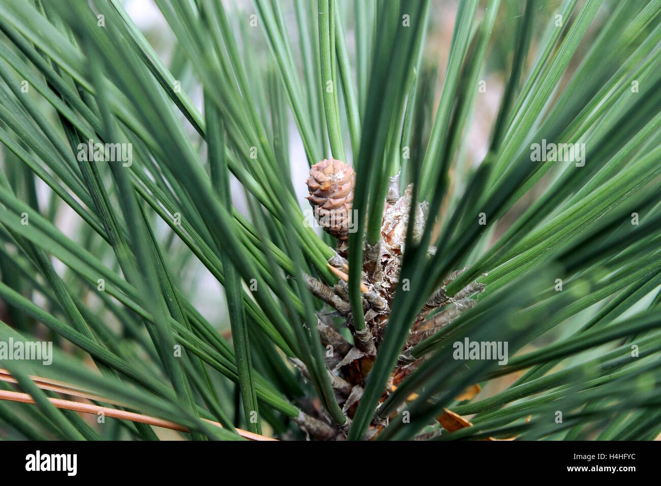 A green conifer tree branch. - Stock Image