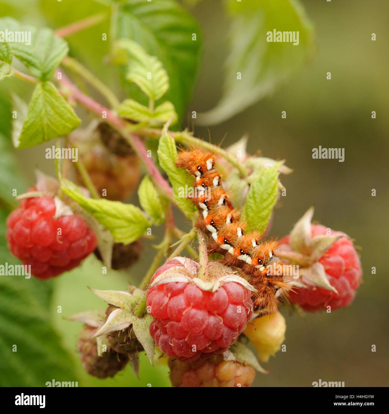 Caterpillar, lava, of  Knotgrass (Acronicta rumicis) moth on a cultivated raspberry (Rubus idaeus) plant. Bedgebury - Stock Image